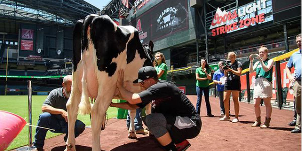 Three D-backs players compete in cow milking contest