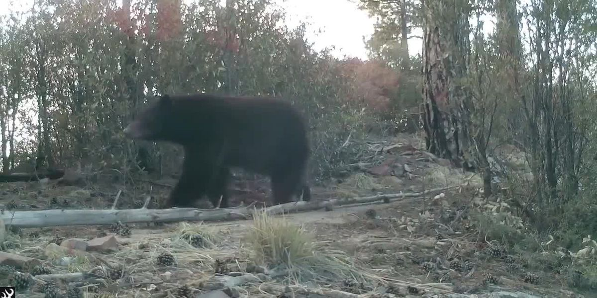 First bear sighting in the Santa Catalinas