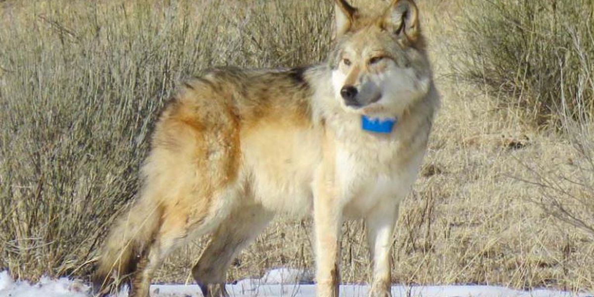 New Mexico zoo sends endangered wolf pack to Mexico