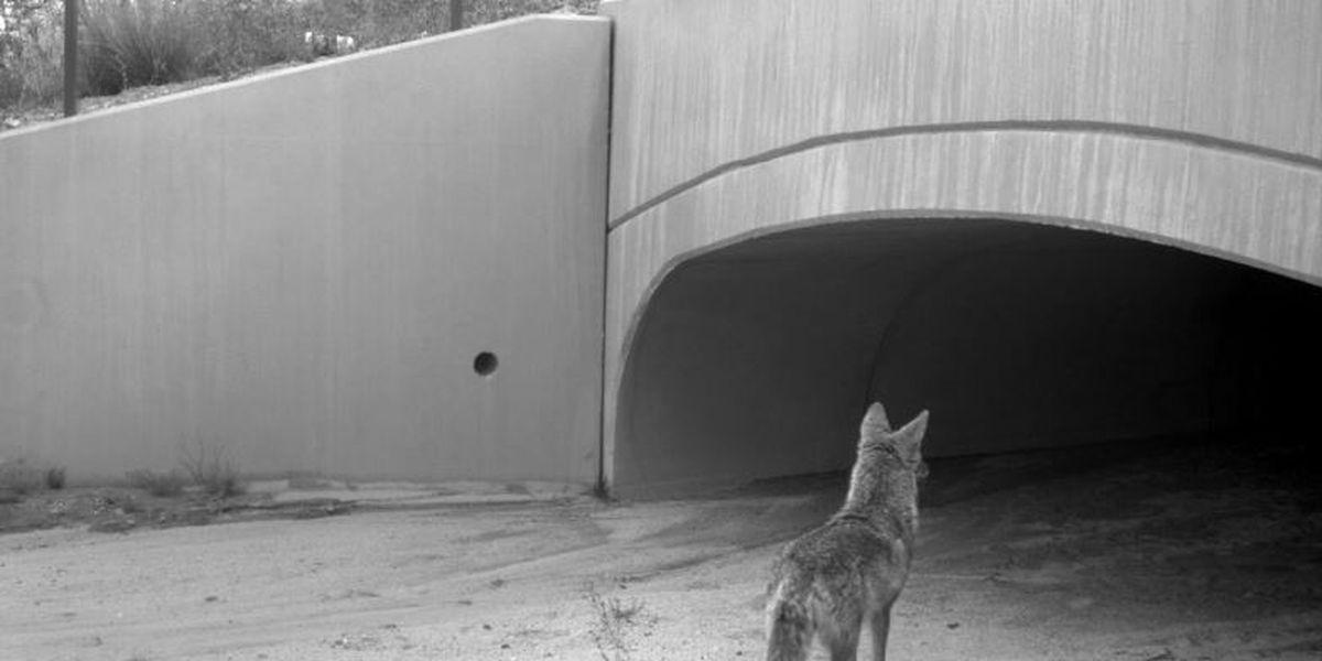 Three new wildlife crossings to be built along La Cholla