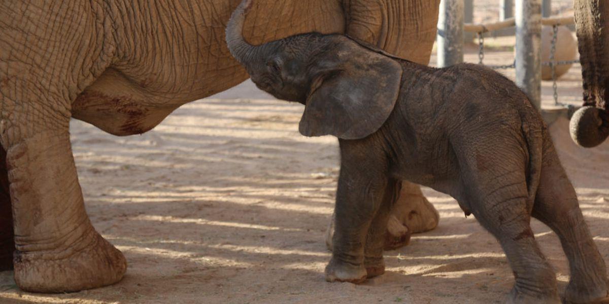 Male ♂ African Bush elephant Mapenzi at Tucson Reid Park Zoo (Randolph Park Zoo)