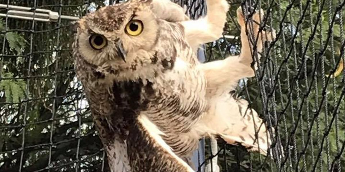 Owl saved from batting cage in Oro Valley
