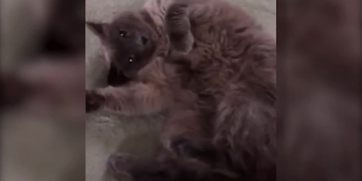 Cat accidentally euthanized during routine visit to Texas animal hospital