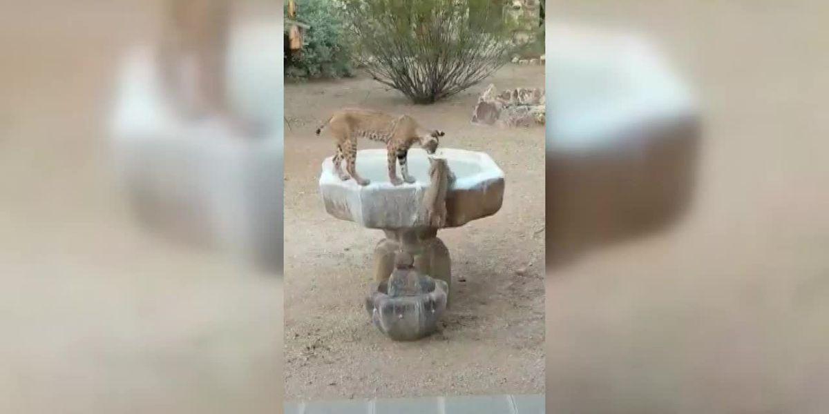 WATCH: Bobcat, kittens caught frolicking in Tucson yard