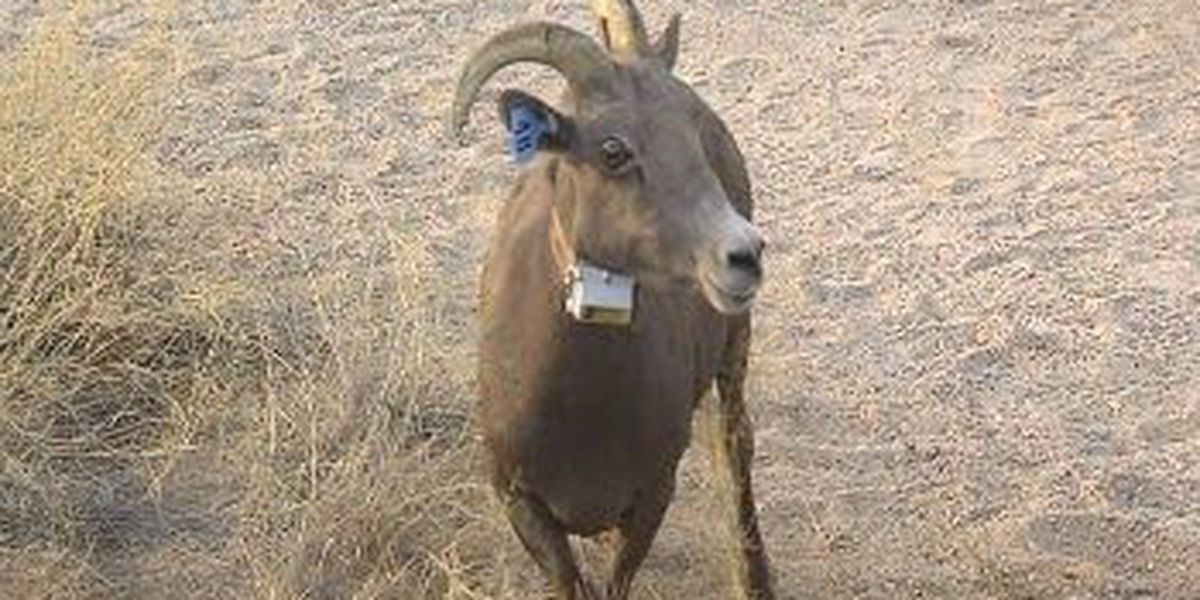 Helicopters could land in wilderness to track bighorn sheep