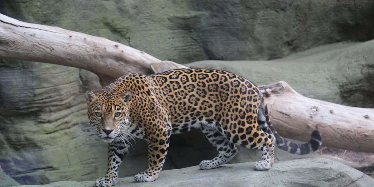 New jaguar arrives at Reid Park Zoo