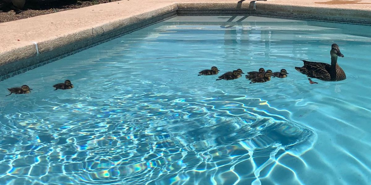 Tucson man's pool adopted as home for duck family