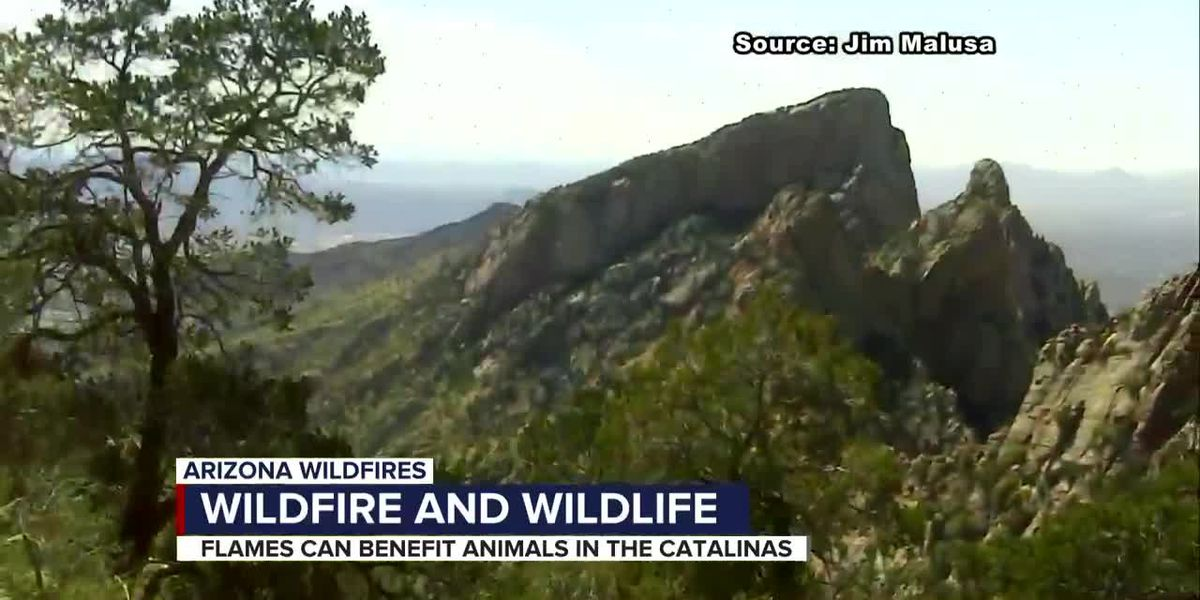 Bighorn Fire positive for wildlife