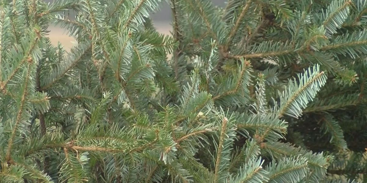 Kaibab National Forest to begin selling Christmas tree permits