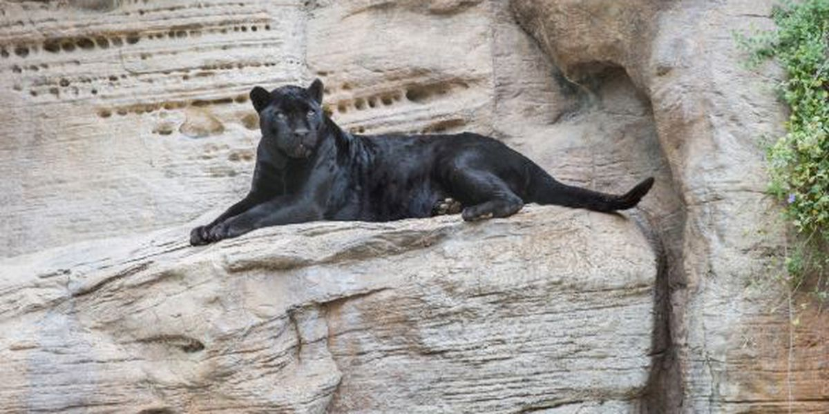 Sad news from Reid Park Zoo as remaining jaguar, Simone dies