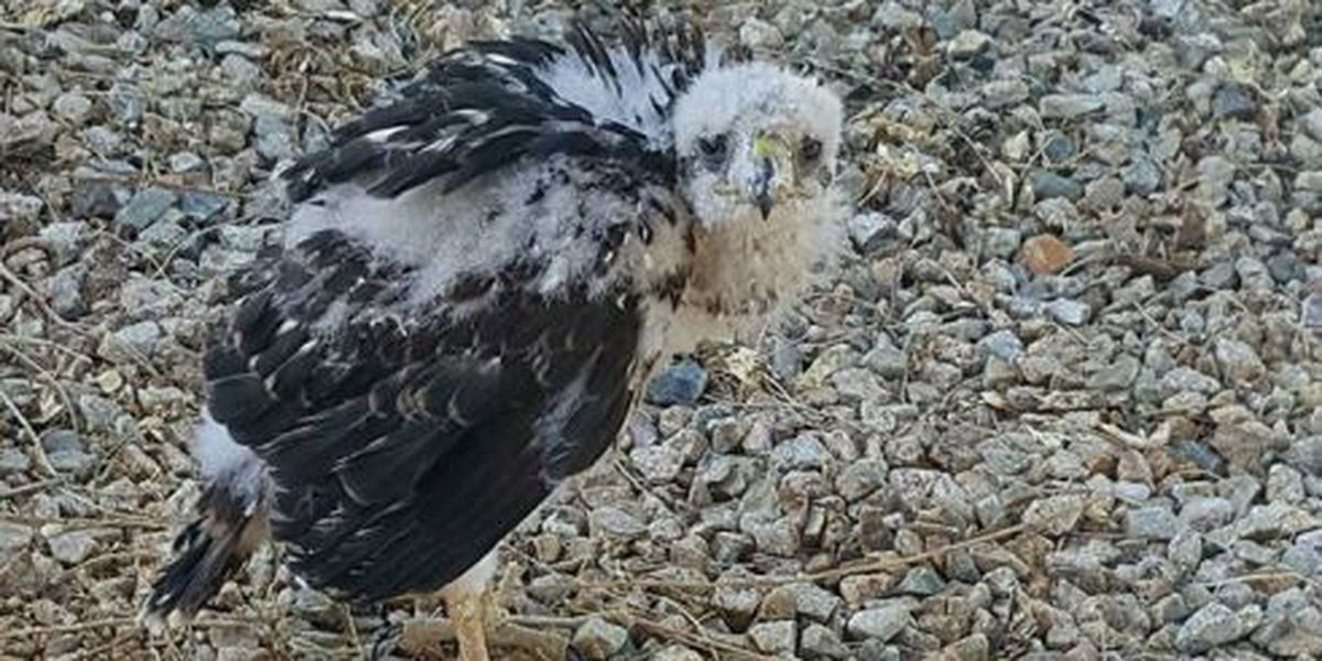 As Temperatures Rise Baby Cooper S Hawks Fall
