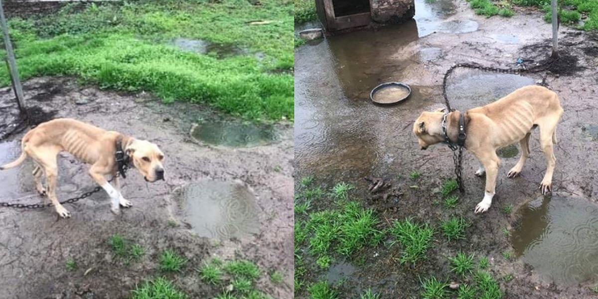 Severely malnourished dog rescued after living five years chained in mud pit