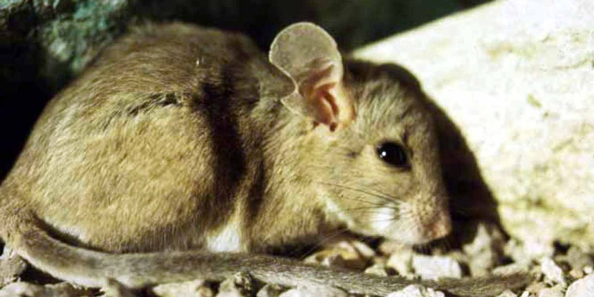 Poison for pack rats finds way to coyotes