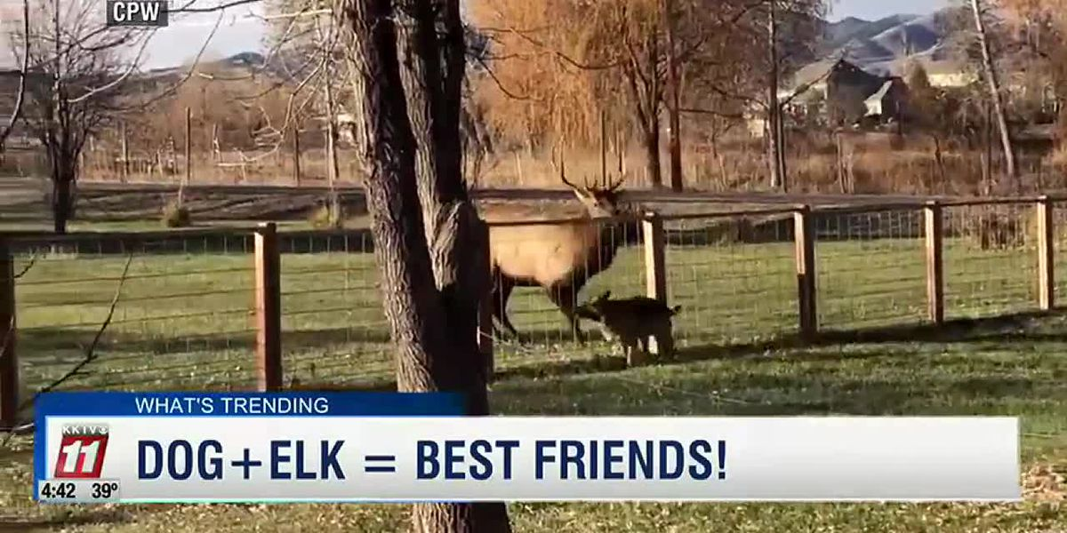 Dog and elk in Colorado are best friends!