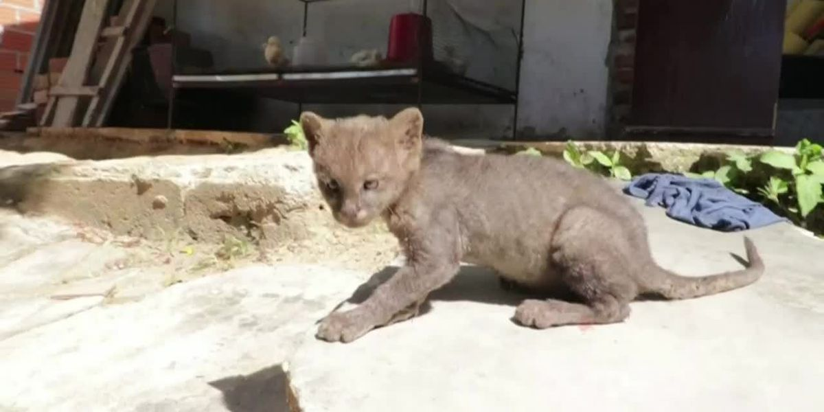 Man finds baby cougar in Colombia