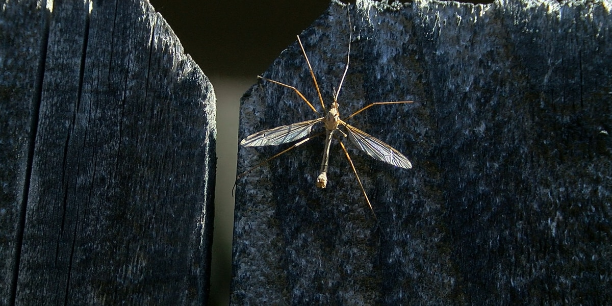 Changing weather brings out long-legged, flying insects