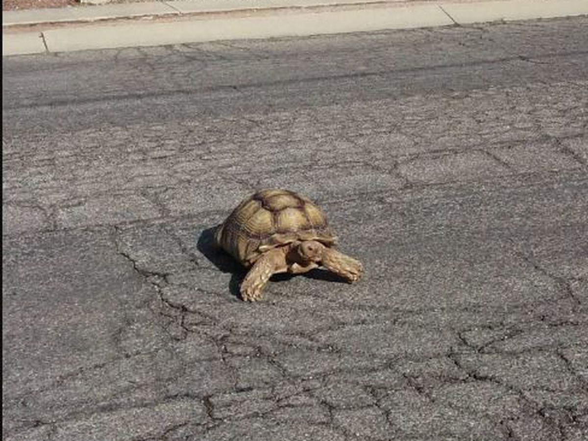 Desert tortoise takes a walk in Tucson