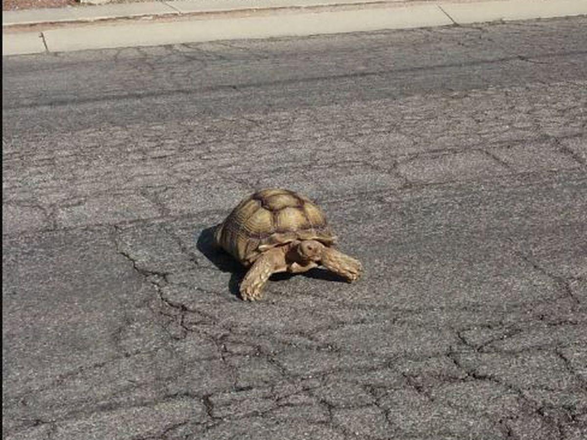 Desert tortoise takes a walk in Tucson