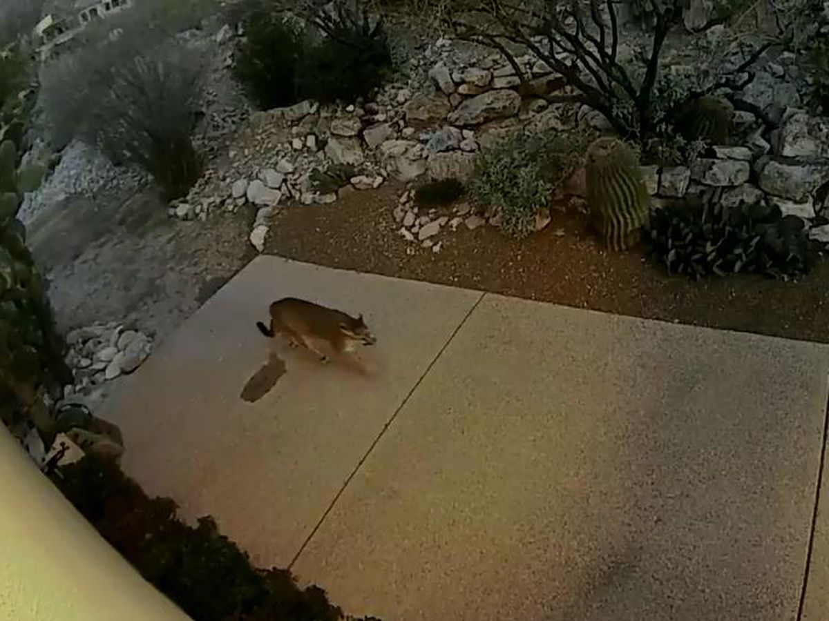 Mountain lion caught on home security video in foothills area