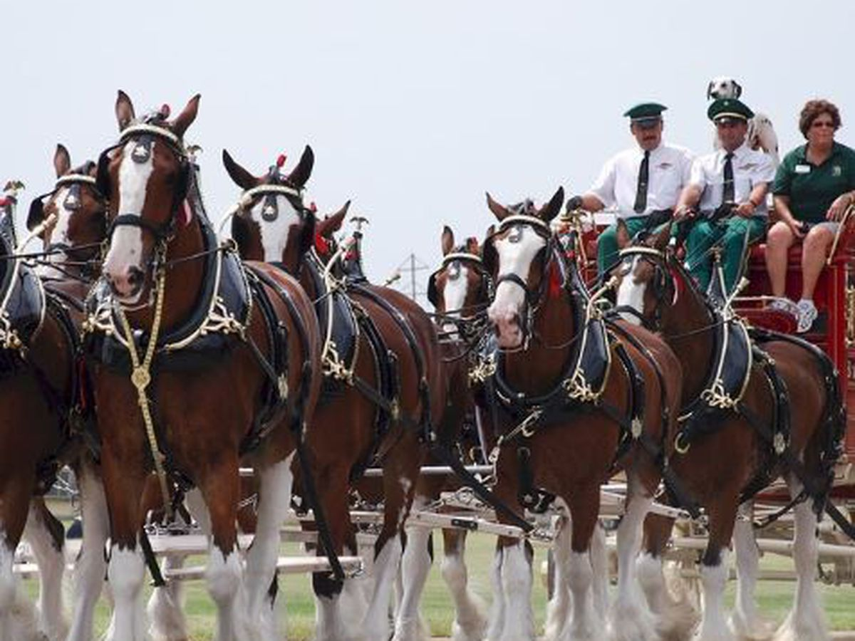 Budweiser Clydesdales making another appearance in Tucson