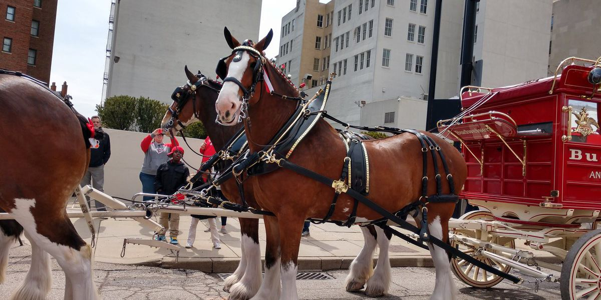 Catch a glimpse of the Budweiser Clydesdales at Rillito Race Track