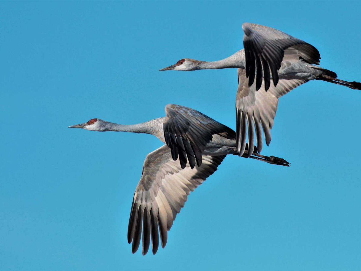Nearly 35,000 sandhill cranes now in Sulphur Springs Valley
