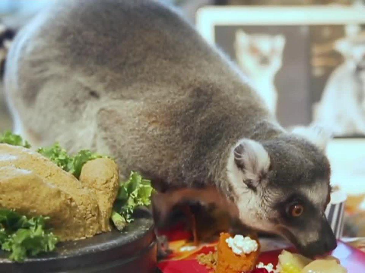 Chicago zoo lemurs enjoy a Thanksgiving feast