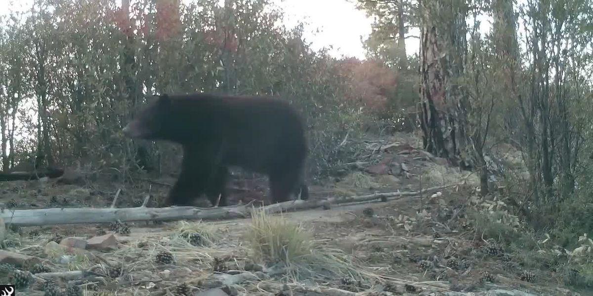 First confirmed bear sighting in Santa Catalinas