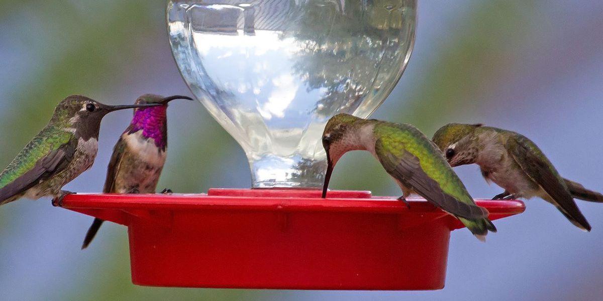 Hummingbirds need Arizonans' help during periods of extreme heat
