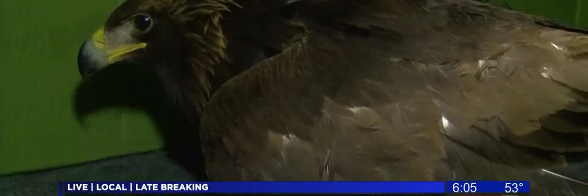 Golden eagle critically ill from lead poisoning