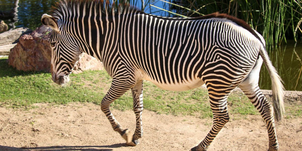 Anna the Grevy's Zebra pregnant at Reid Park Zoo