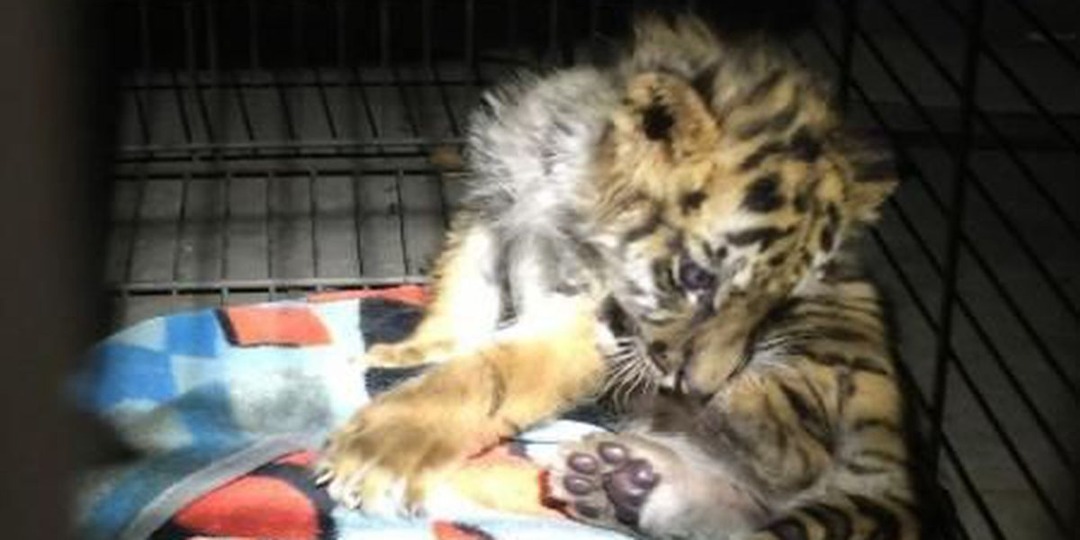 UPDATE: Tiger cub rescued by CBP gets a new friend