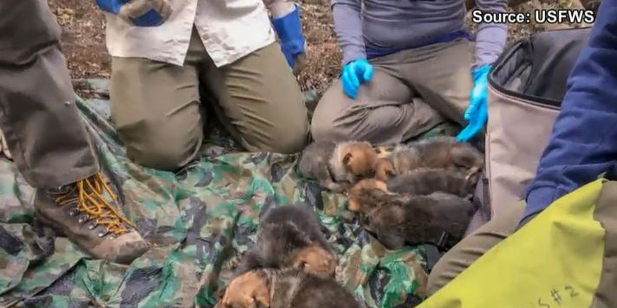 Captive born Mexican Gray Wolf pups find new homes in wild after successful fostering efforts