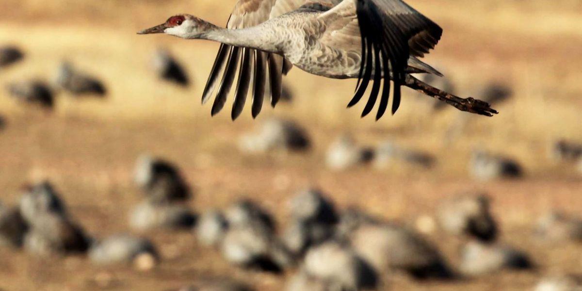 New Record: Over 47,000 estimated sandhill cranes now in Sulphur Springs, Gila River Valleys