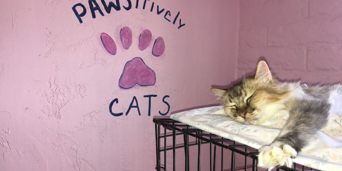 Tucson pop-up cat cafe opens its doors this weekend
