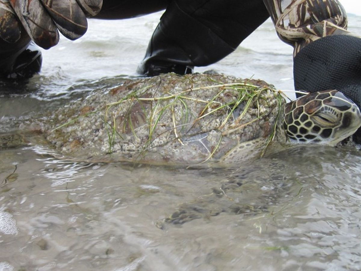 Cold stunned Texas sea turtles returned to Gulf of Mexico