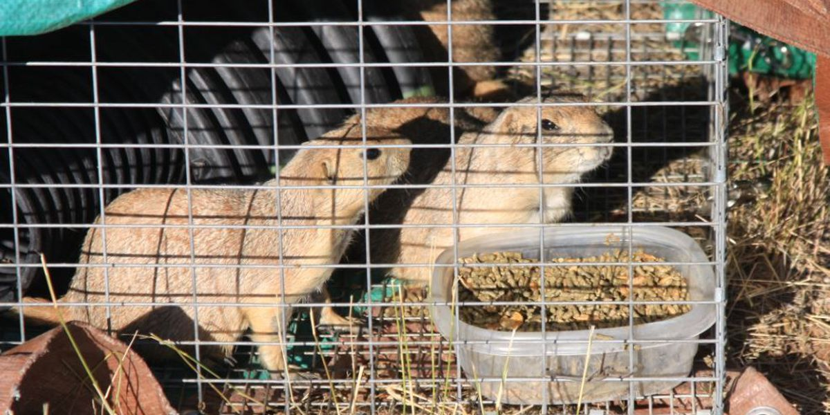 Black-tailed Prairie Dogs released near Sonoita