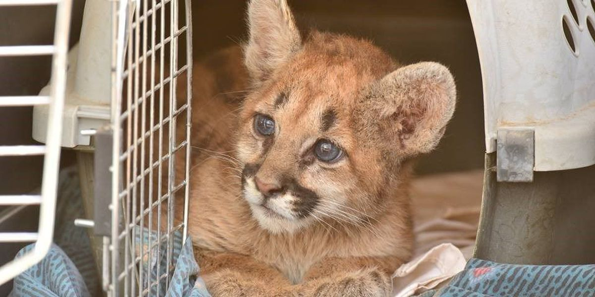 AZGFD caring for orphaned mountain lion cub