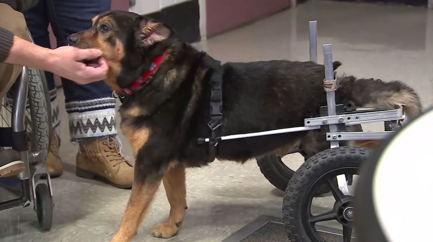 Dog adopted by Ga. man with similar paralysis after being returned 3 times