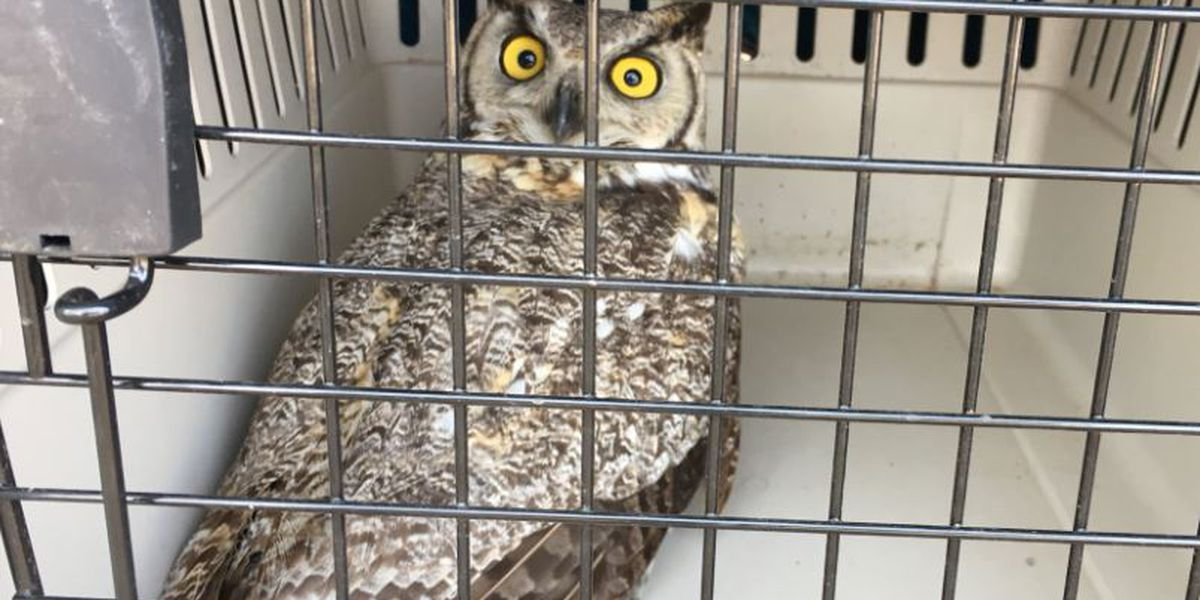 Couple rescues injured owl, Wildlife officials reminding people to proceed with caution