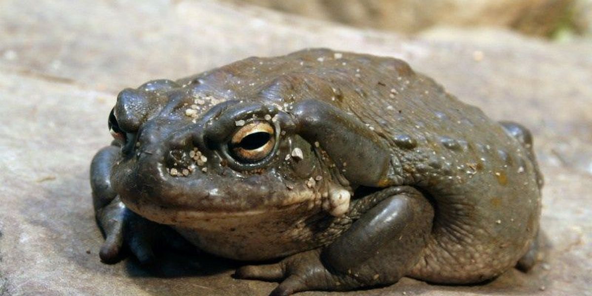 PET OWNERS BEWARE: Colorado River Toad