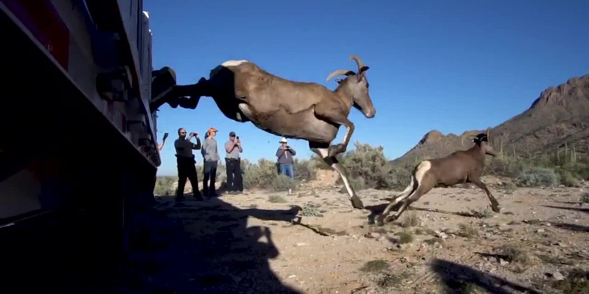 Bighorn sheep returned to Picacho Mountains