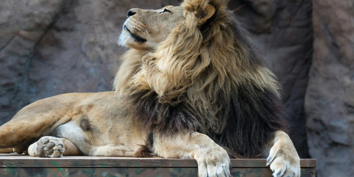 Reid Park Zoo euthanizes 11-year-old lion with kidney disease