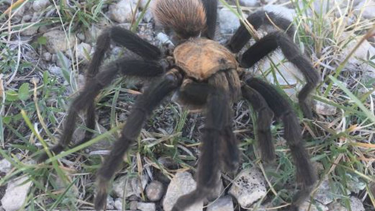 Monsoon puts charge in the air for tarantulas seeking mates