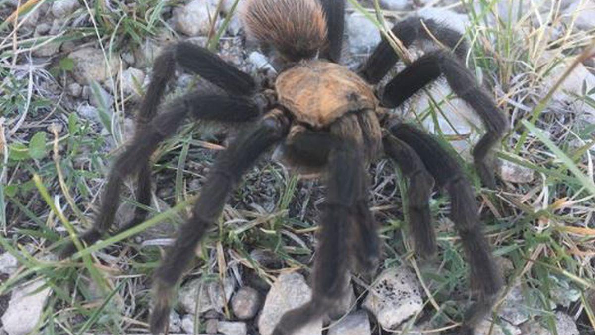 Monsoon puts charge in the air for tarantulas seeking mates