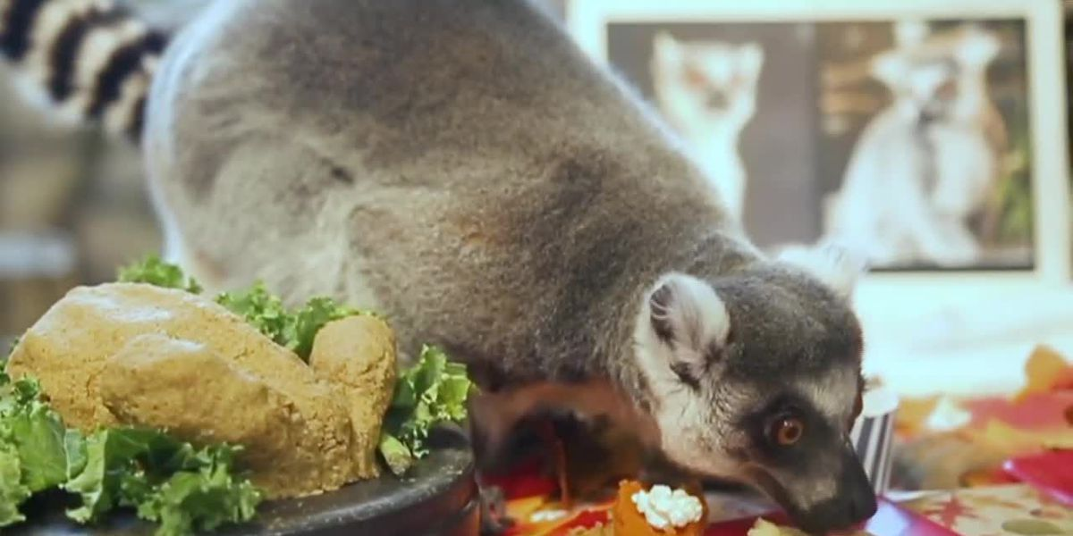 Chicago zoo lemurs enjoy a Thanksgiving feast