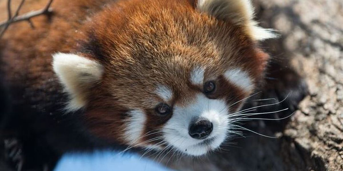 Red Pandas will be coming to the Reid Park Zoo