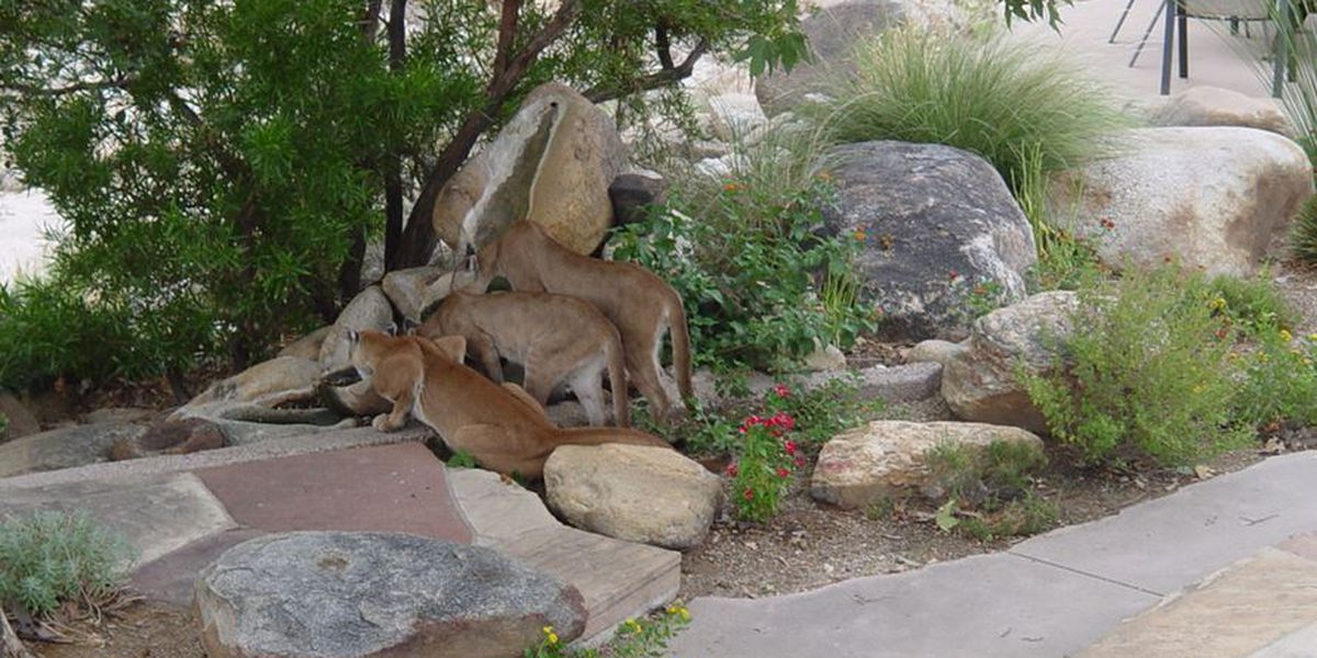 Caught on camera: Trio of mountain lions drink from backyard water feature