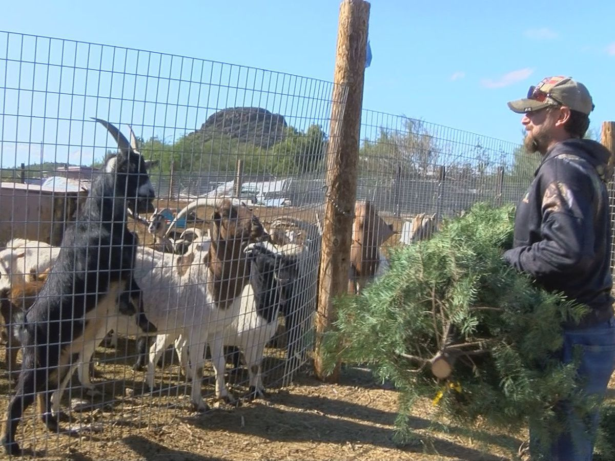 Goats graze on leftover Christmas trees