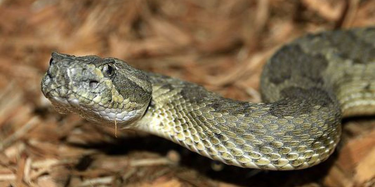 El Niño could increase snakebites this winter